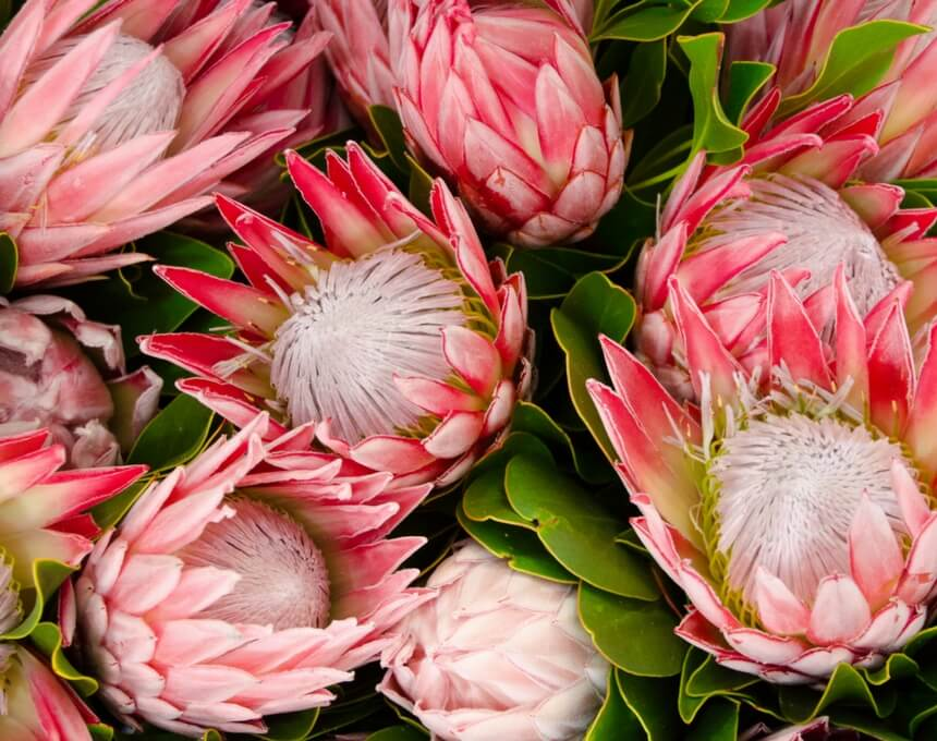 Snyman Flora | Cape Flora and Protea Exporters | South Africa